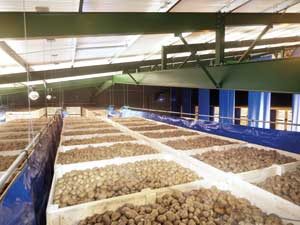Many of the potatoes are sold to crisp manufacturers